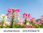 close up pink and white spider... | Shutterstock . vector #1014536674