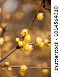 Small photo of Blossom plum flower in wintersweet Park