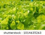 fresh green oak salad lettuce... | Shutterstock . vector #1014635263
