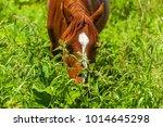A Brown Horse Eats Field Grass...