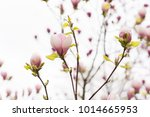 amazing purple magnolia flowers ... | Shutterstock . vector #1014665953