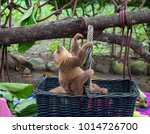 baby sloth climbing a basket in ... | Shutterstock . vector #1014726700
