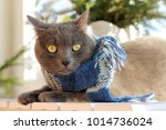 Gray Cat In Blue Scarf Sits On...