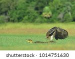 giant anteater with caiman | Shutterstock . vector #1014751630