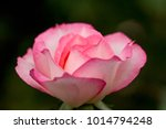 close up of rose flowers | Shutterstock . vector #1014794248