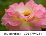 close up of rose flowers | Shutterstock . vector #1014794254