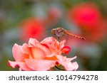 close up of rose flowers | Shutterstock . vector #1014794278