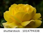 close up of rose flowers | Shutterstock . vector #1014794338