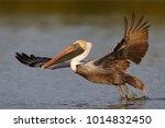 brown pelican  pelecanus... | Shutterstock . vector #1014832450