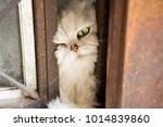 female chinchilla persian  gon... | Shutterstock . vector #1014839860