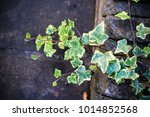 close up of twig of ivy on a...   Shutterstock . vector #1014852568