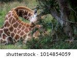 giraffe in rem sleep   with its ... | Shutterstock . vector #1014854059