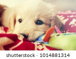 Stock photo adorable golden retriever puppy playing with his toys in his bed 1014881314