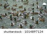 wild ducks swim in the lake ...   Shutterstock . vector #1014897124