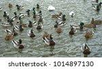 wild ducks swim in the lake ...   Shutterstock . vector #1014897130