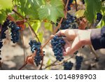 man picking grapes from a home... | Shutterstock . vector #1014898903