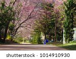 flower sakura thailand blossoms ... | Shutterstock . vector #1014910930