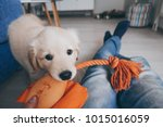 Stock photo fluffy and playful golden retriever puppy playing with his owner and his stuffed toy 1015016059