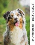 australian shepherd dog | Shutterstock . vector #1015041526
