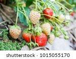 fresh strawberries in the farm. | Shutterstock . vector #1015055170