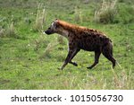 spotted hyena  masai mara... | Shutterstock . vector #1015056730