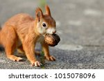 red squirrel with a walnut | Shutterstock . vector #1015078096