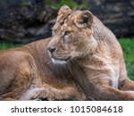 The Face Of An Asiatic Lion