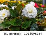 Flowering Plants Of White...