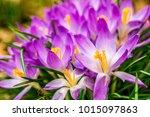 crocus  plural crocuses or...   Shutterstock . vector #1015097863