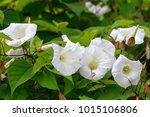 bindweed  convolvulus arvensis  | Shutterstock . vector #1015106806