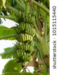 fruitful cultivated banana tree | Shutterstock . vector #1015115440