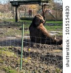Small photo of kodiak bear sits in the sun behind a fence