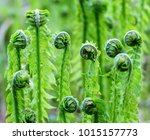 Young Green Shoots Of Ferns ...