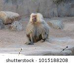 hamadryas baboons  papio... | Shutterstock . vector #1015188208