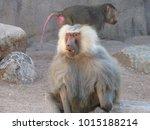 hamadryas baboons  papio... | Shutterstock . vector #1015188214