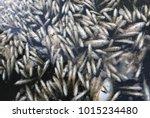 hundreds of dead fish in... | Shutterstock . vector #1015234480