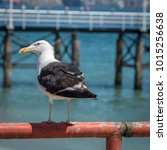 a black and white seagull... | Shutterstock . vector #1015256638