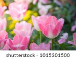 beautiful bouquet of tulips.... | Shutterstock . vector #1015301500