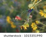 Fischer's Lovebird  Agapornis...