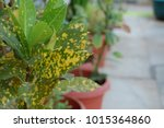Closeup Of Spotted Croton Plant