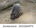 portrait of cute porcupine. the ... | Shutterstock . vector #1015364974