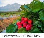 fresh strawberries fruits on... | Shutterstock . vector #1015381399