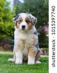 australian shepherd dog puppy... | Shutterstock . vector #1015397740