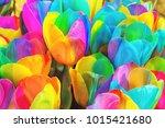 Rainbow tulips of Keukenhof, the Netherlands, colorful floral theme - stock photo