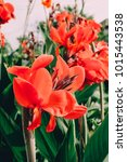 red canna lily   cannas   canna ... | Shutterstock . vector #1015443538