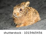 Stock photo leveret a baby hare in a wildlife rescue following the death of her mother due to hare coursing 1015465456
