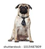 pug wearing tie sitting against ... | Shutterstock . vector #1015487809