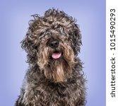 cross breed dog against blue...   Shutterstock . vector #1015490293