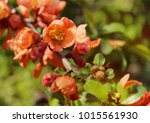 blossoming quince. quince... | Shutterstock . vector #1015561930