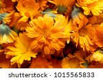 background with calendula.... | Shutterstock . vector #1015565833